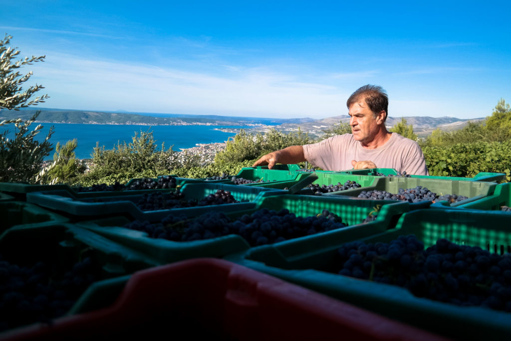 Winemaker Jaksa Bedalov hand picking grapes for his wines