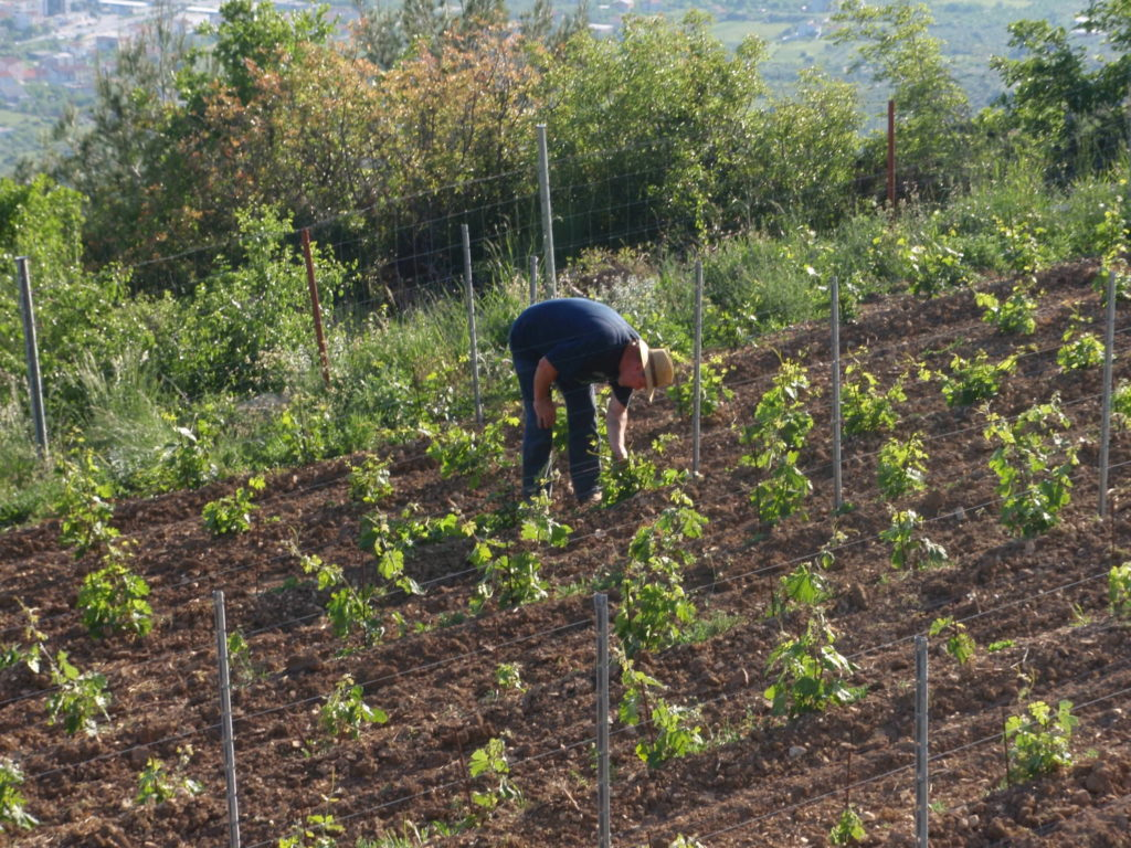Winemaker Jaksa Bedalov nurturing vines in his vineyard