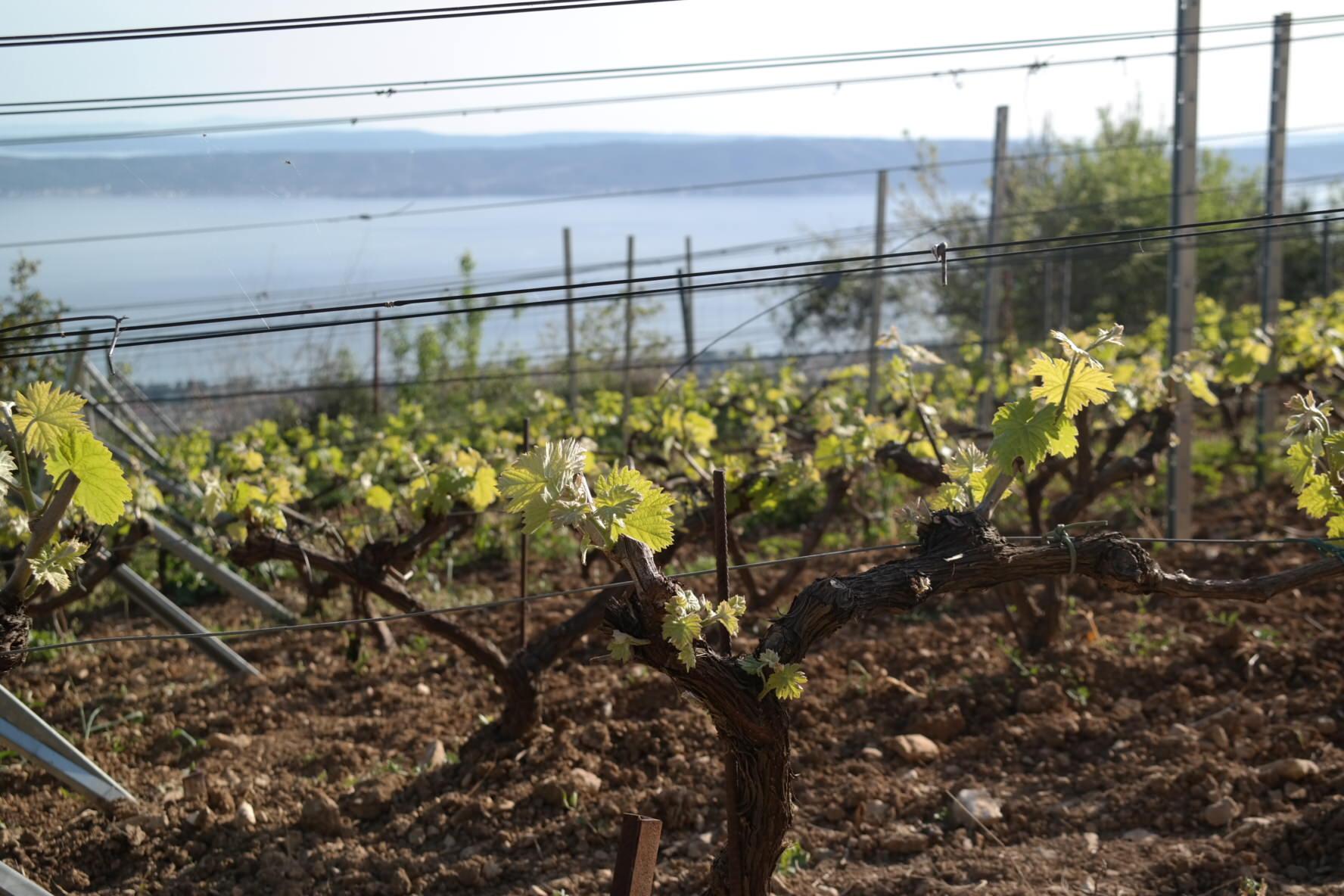Loza u vinogradu vinarije Bedalov