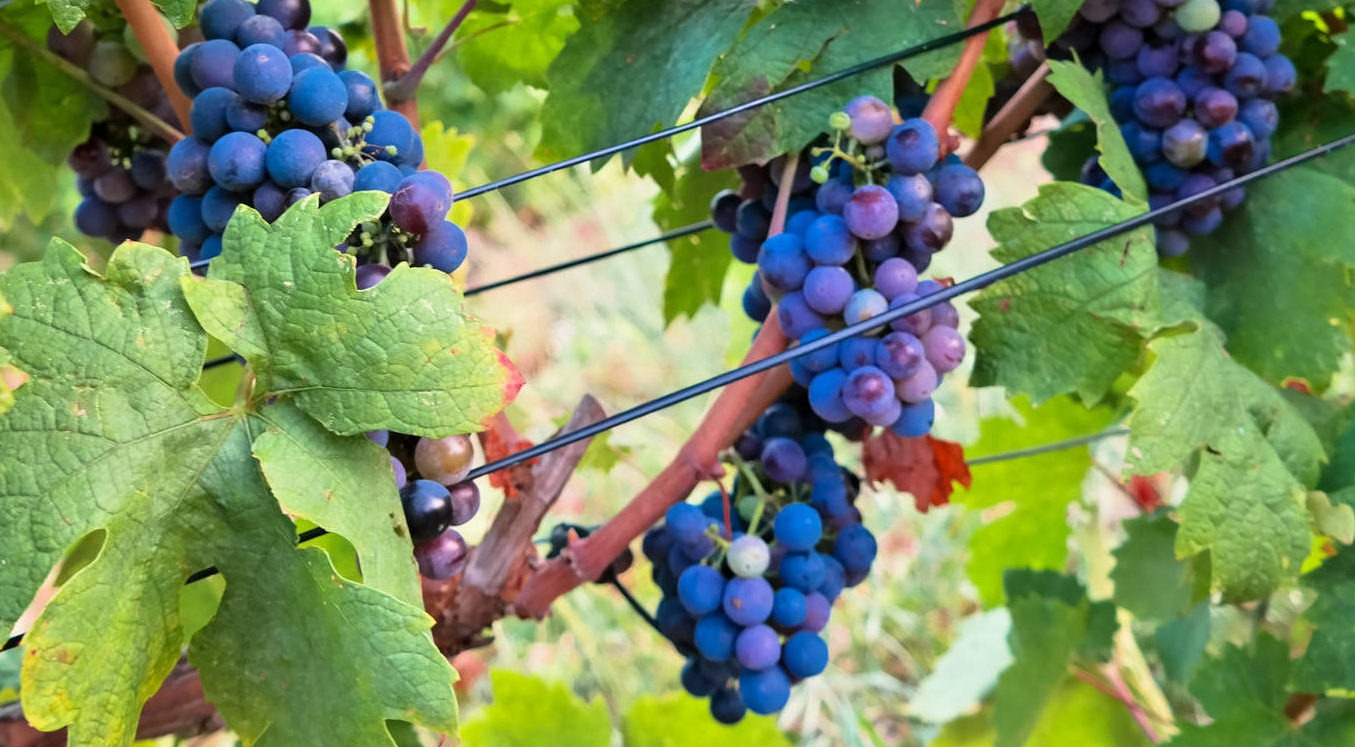 grožđe u vinogradu Bedalov